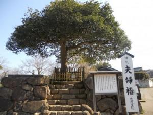 八重垣神社の連理の椿