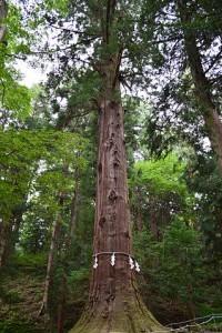 河口浅間神社の七本杉(天壌)